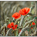 poppy poppies field flowers wheat corn red nature somerset somersetdreams