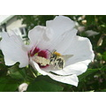hibiscus white busy bee