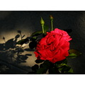 rose flower color red shadow