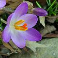 Crocus