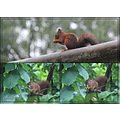 squirrel animal red eekhoorn dieren rood