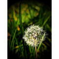 kokorni nature flowers blowball