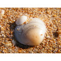 sea shells beach palm beach sydney australia