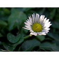 daisy autumn flower