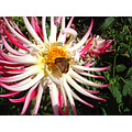 Branded Skipper on Dahlia