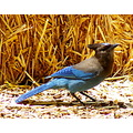 bird avian jay wildspirit wildlife pankey steller