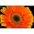 stlouis missouri us usa landscape flower macro daisy mothersday bh 2008
