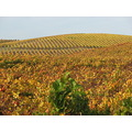 sonomacounty vineyard autumn