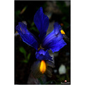 flower blue yellow