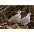 Doves Please enlarge
