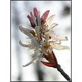 serviceberry sarvis shadbush shrub wildflower white nature
