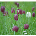 snakes head fritillaries