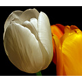 tulip flower white bunch
