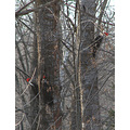 pileated woodpecker birds woods