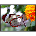 Transparent butterfly3