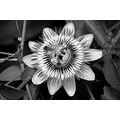 passion's flower  para ver meus outros fotothing�s / to see my other fotothing�s http://www.fo...