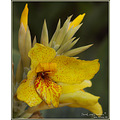 nature flower summer green yellow Cannaceae Canna indica