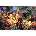 flower yellow red lions head
