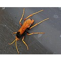 australia bribie island orange bug wasp