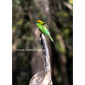 green bee eater dandeli karnataka india