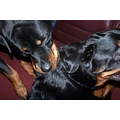 pets pet dog dogs rottwieller puppy