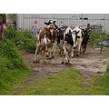 spring holland animalmonday cows