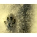 cat footprint snow
