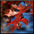 fall oak tree leaf