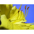 flower daylily yellow macro jdahi64
