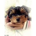 puppy yorkshireterrier