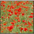 somersetdreams somerset nature poppy poppies romance