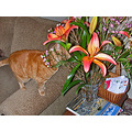 birthday flowers lilies lily orange orangefph joeyfph orangecat cat