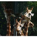 giraffes animal faces