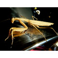 BUG PRAYING MANTIS