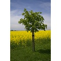 Switzerland Countryside tree Raps green yellow strongcolors