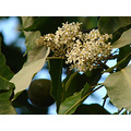 Kukui blossoms, official flower of the island of Molokai. The leaves seem to get sunburnt in the ...