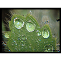 hairyleaves leaf leaves papaver drops water macro lillianna