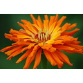 orange skoenlaper green zinnia