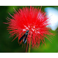 red puff flower bug