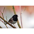 junco darkeyed birds BC Canada
