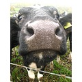cow farm animal face nose legs nostrils