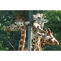 giraffes animals meeting