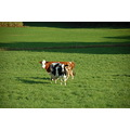 3/5 Animals take care from a swissfarmer. What do you want? There is only in the evening milk.