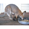 Wallaby Australia wildlife
