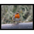 robin bird red christmas