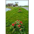 tulips drawbridge polder oudade