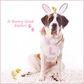 easter bunny dog holly saint bernard