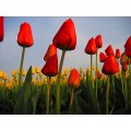 Canon Powershot A80 tulips red yellow
