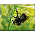 insect bumble bee