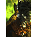 poultry hen cockerel rooster feather plumage bird